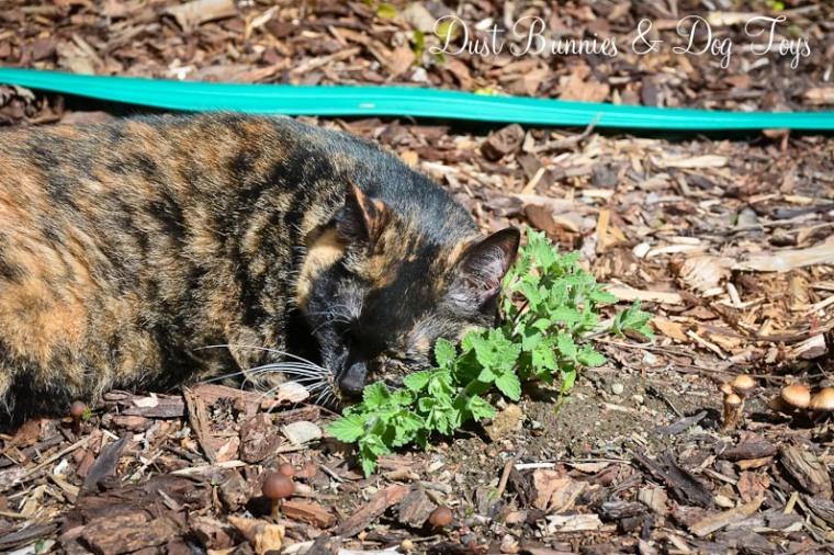 GardenCatmint
