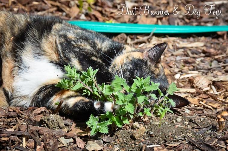 GardenCatmint2