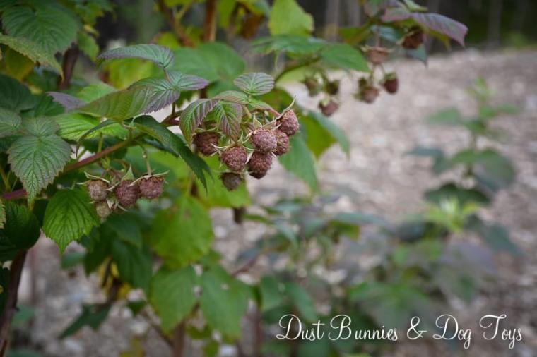 RaspberriesHope