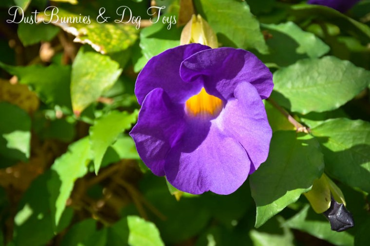 GardenMorningGlory