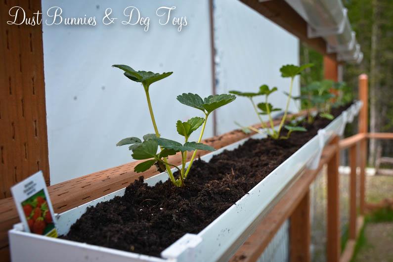 Diy Strawberry Gutter Planters In 4 Easy Steps Dust
