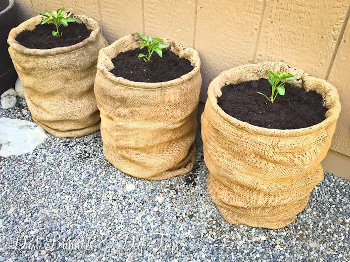 6Trioplanted