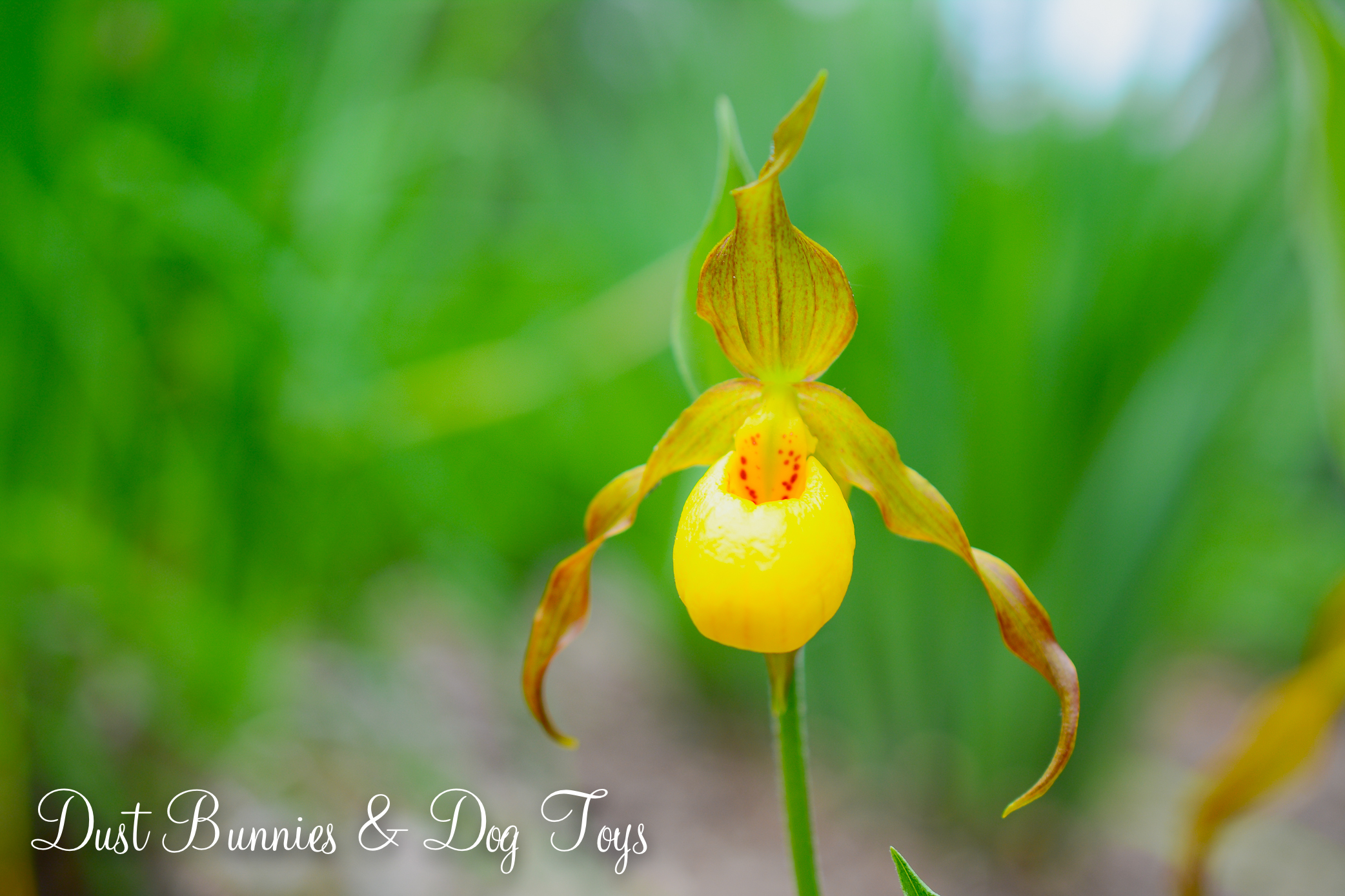 My Lady Slipper Orchids Are Blooming In The Rain Garden